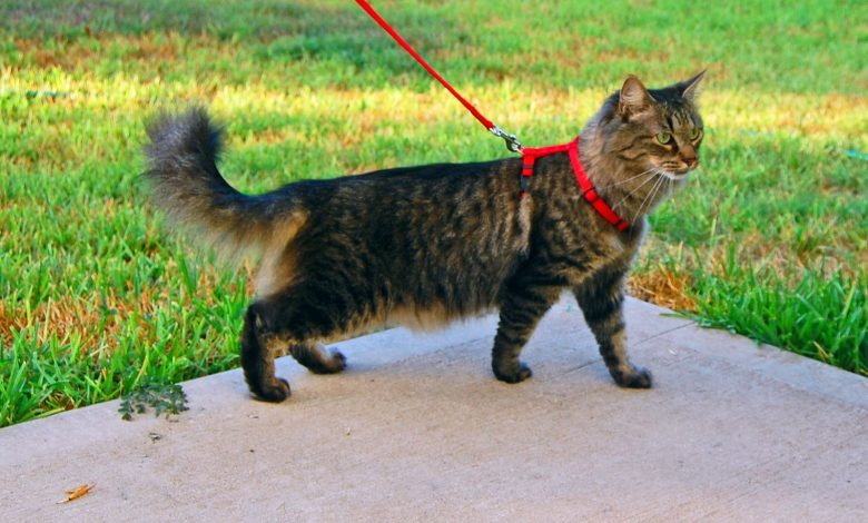 Photo of How To Train Your Cat To Walk On A Leash