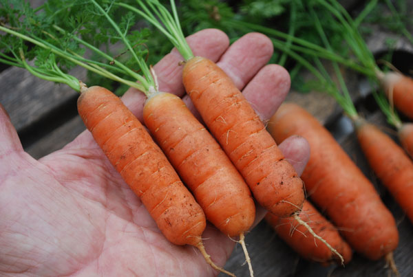 growing-carrots-babette2-lg